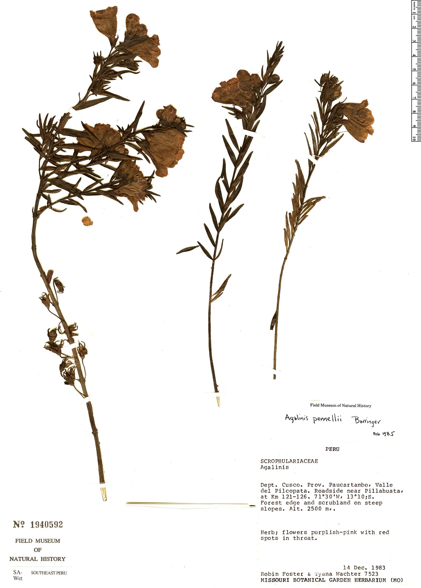 Specimen: Agalinis pennellii