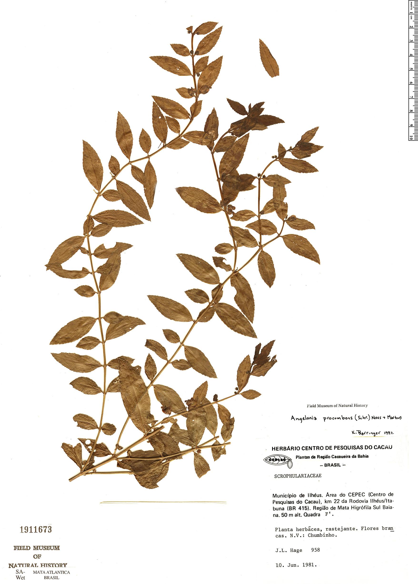 Specimen: Angelonia procumbens
