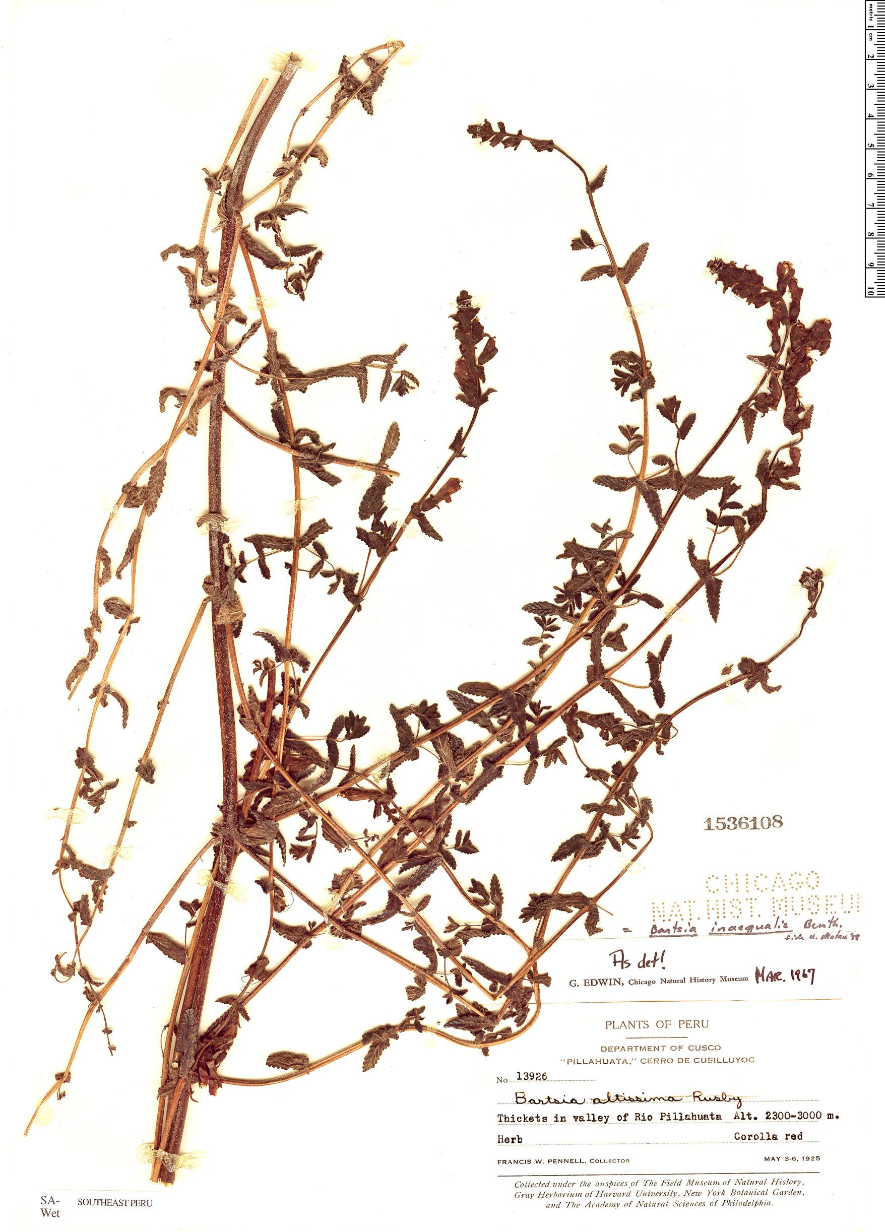 Specimen: Bartsia inaequalis