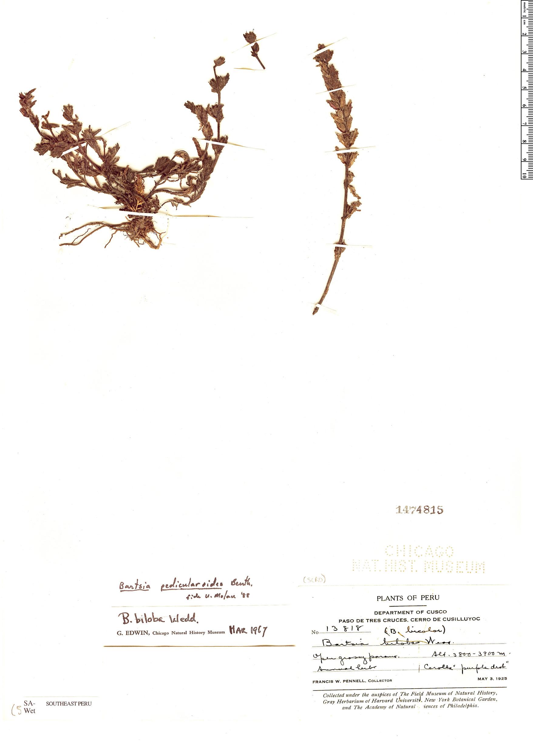Specimen: Bartsia pedicularoides