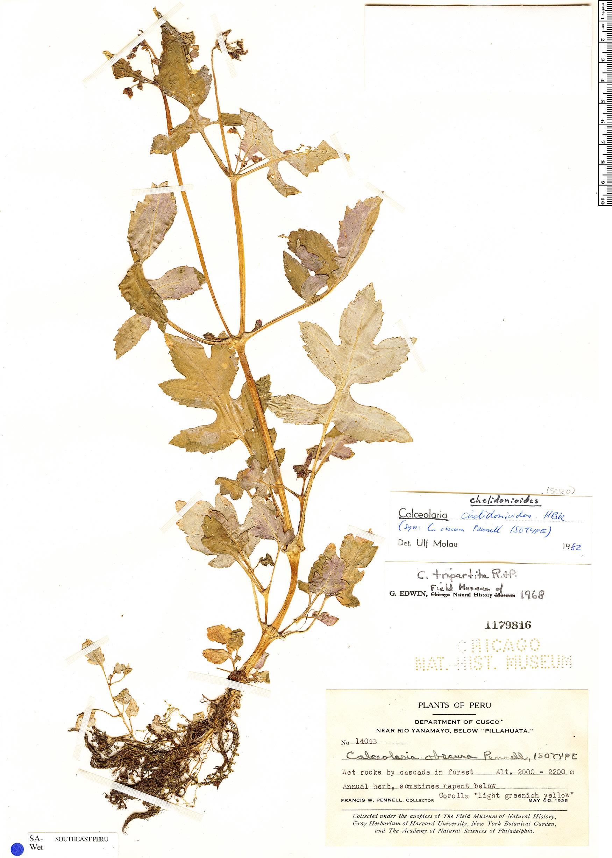 Specimen: Calceolaria chelidonioides