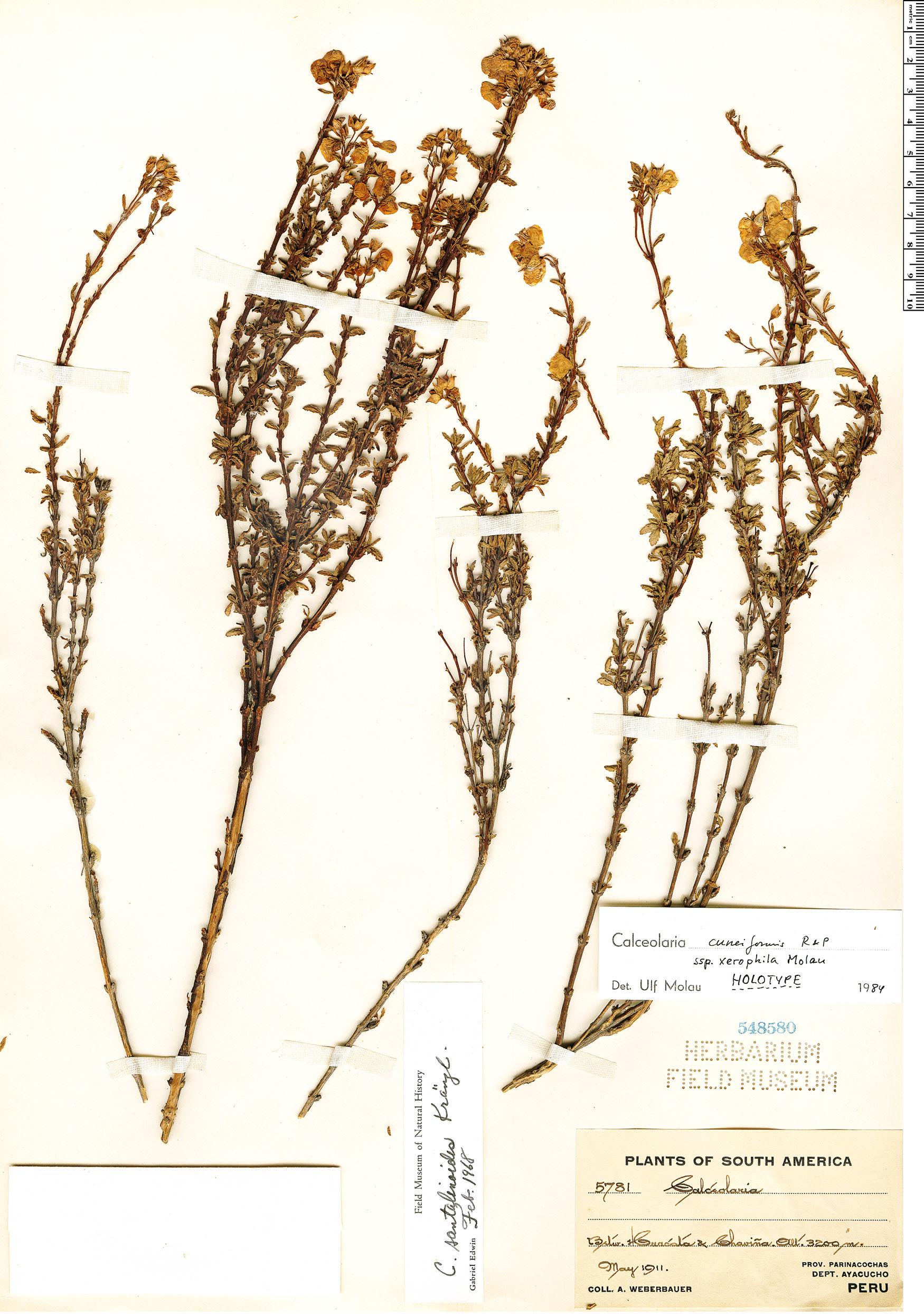 Specimen: Calceolaria cuneiformis