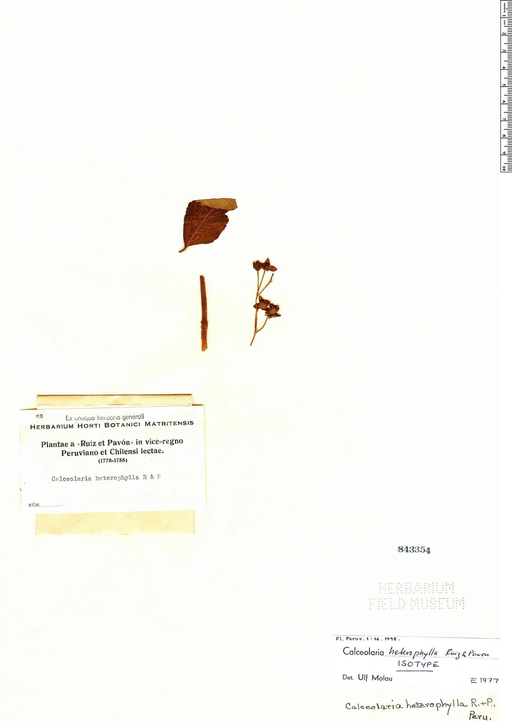 Espécimen: Calceolaria heterophylla