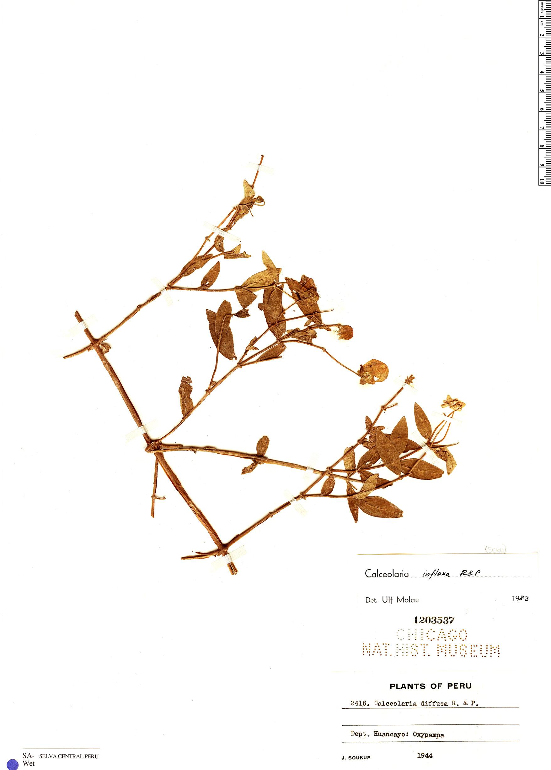 Specimen: Calceolaria inflexa