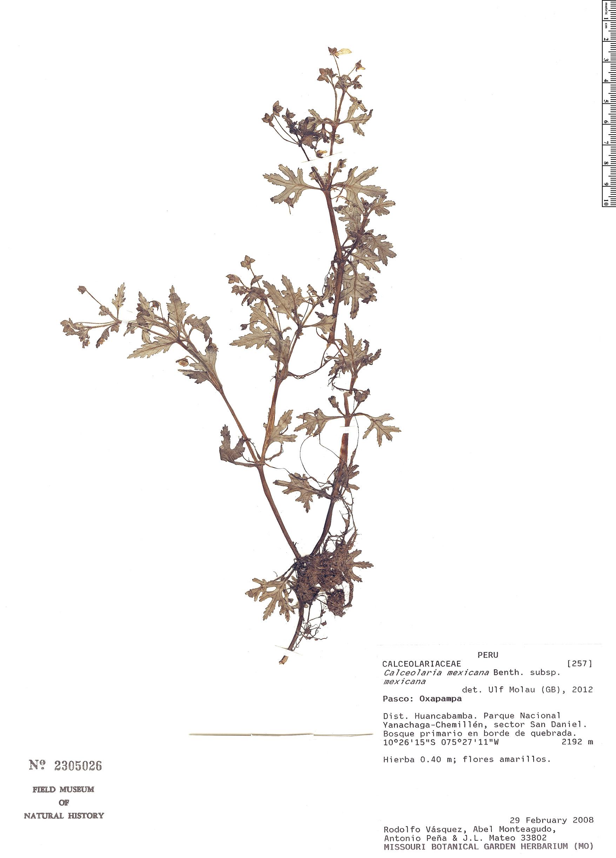 Specimen: Calceolaria mexicana