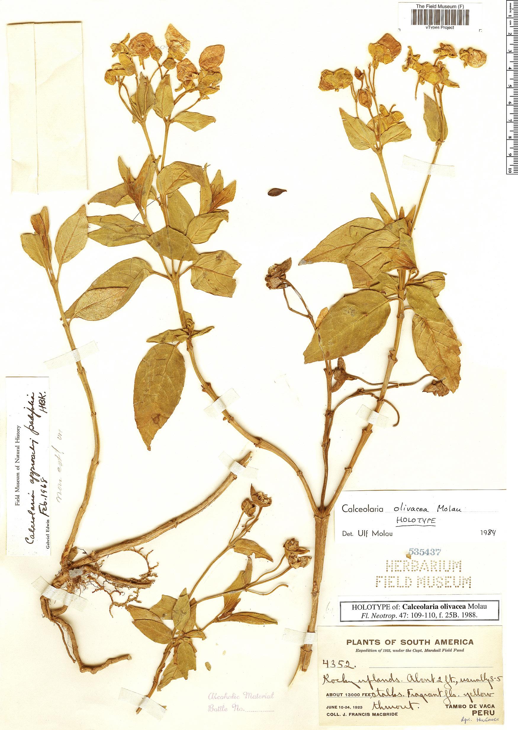 Specimen: Calceolaria olivacea