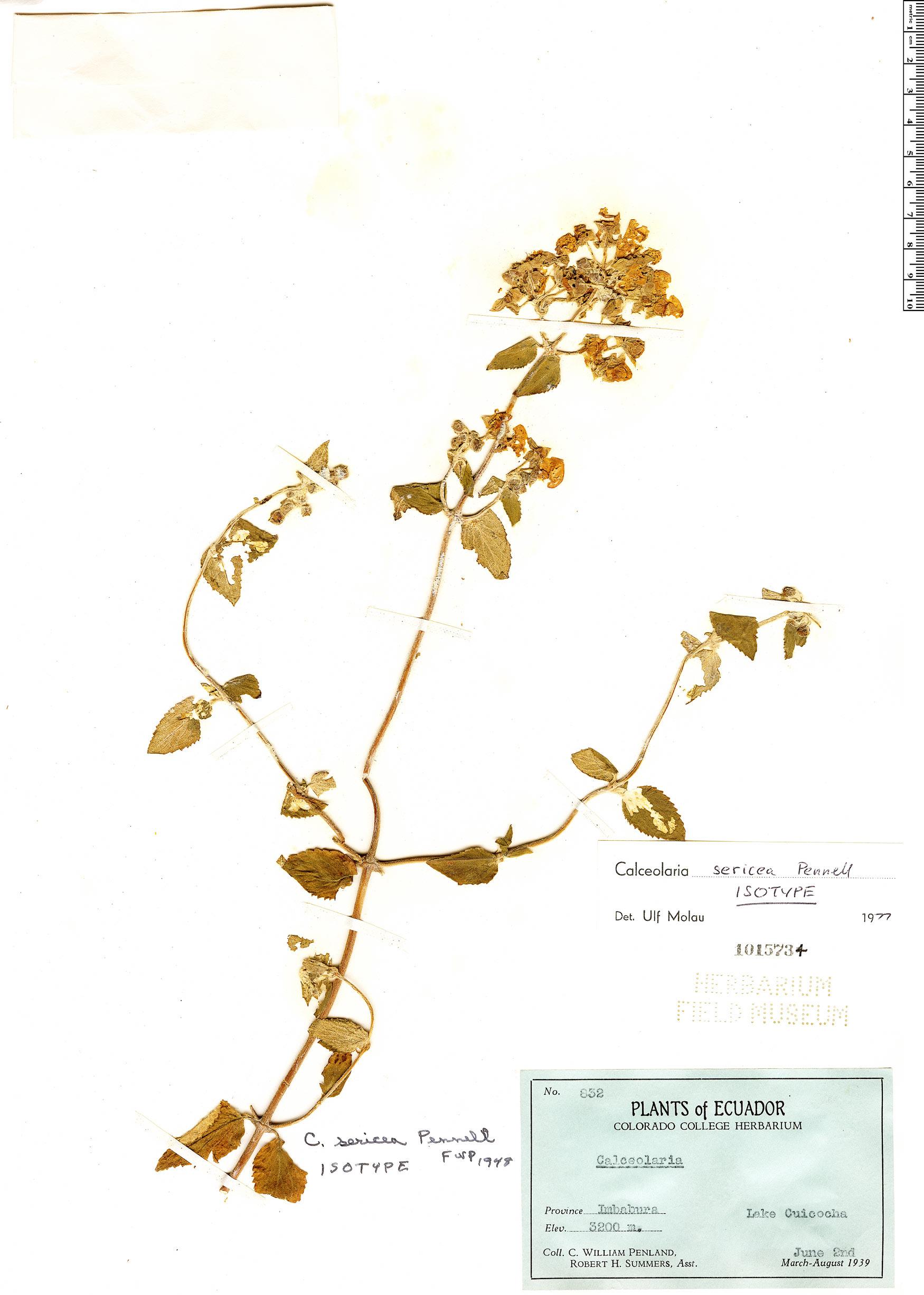 Specimen: Calceolaria sericea