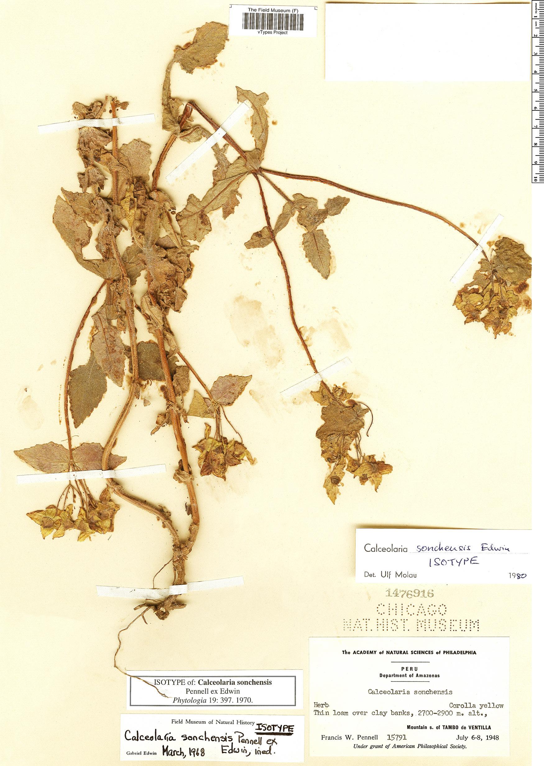 Specimen: Calceolaria sonchensis