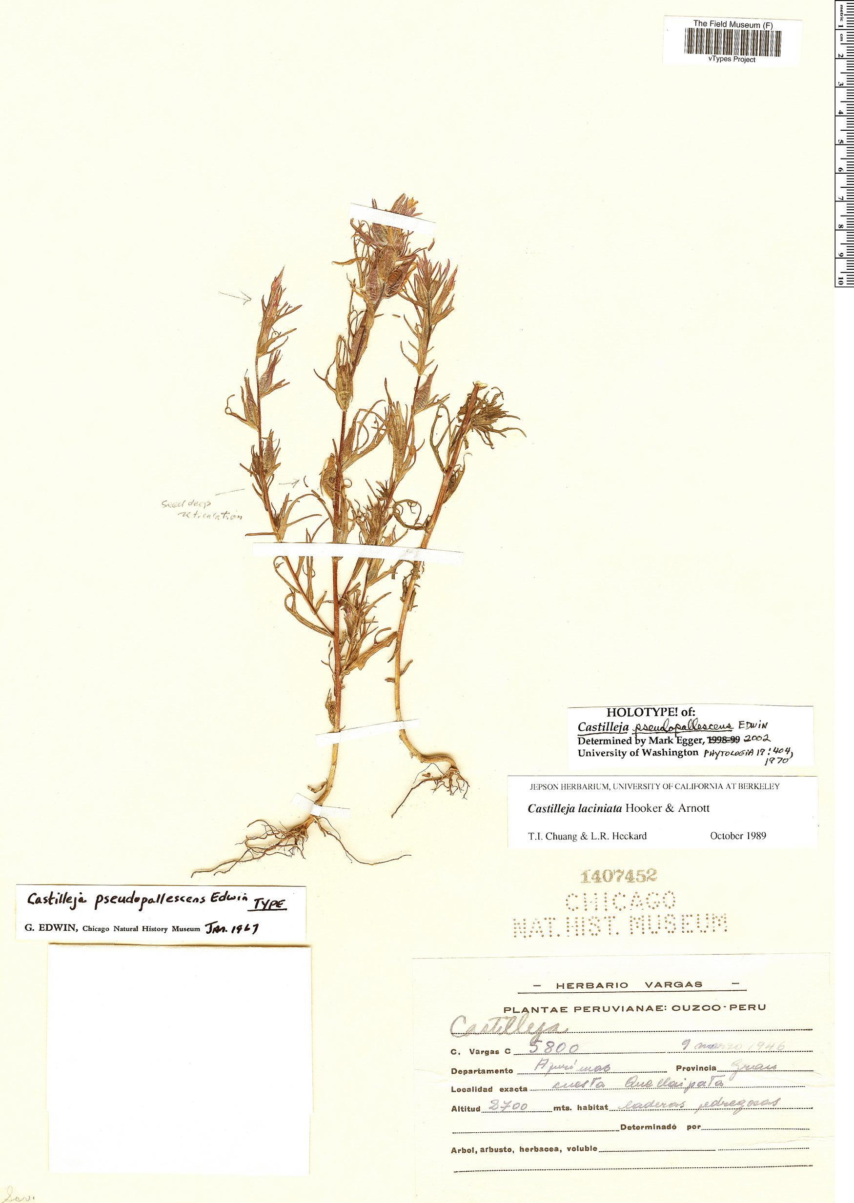 Specimen: Castilleja pseudopallescens