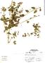 Galvezia fruticosa image
