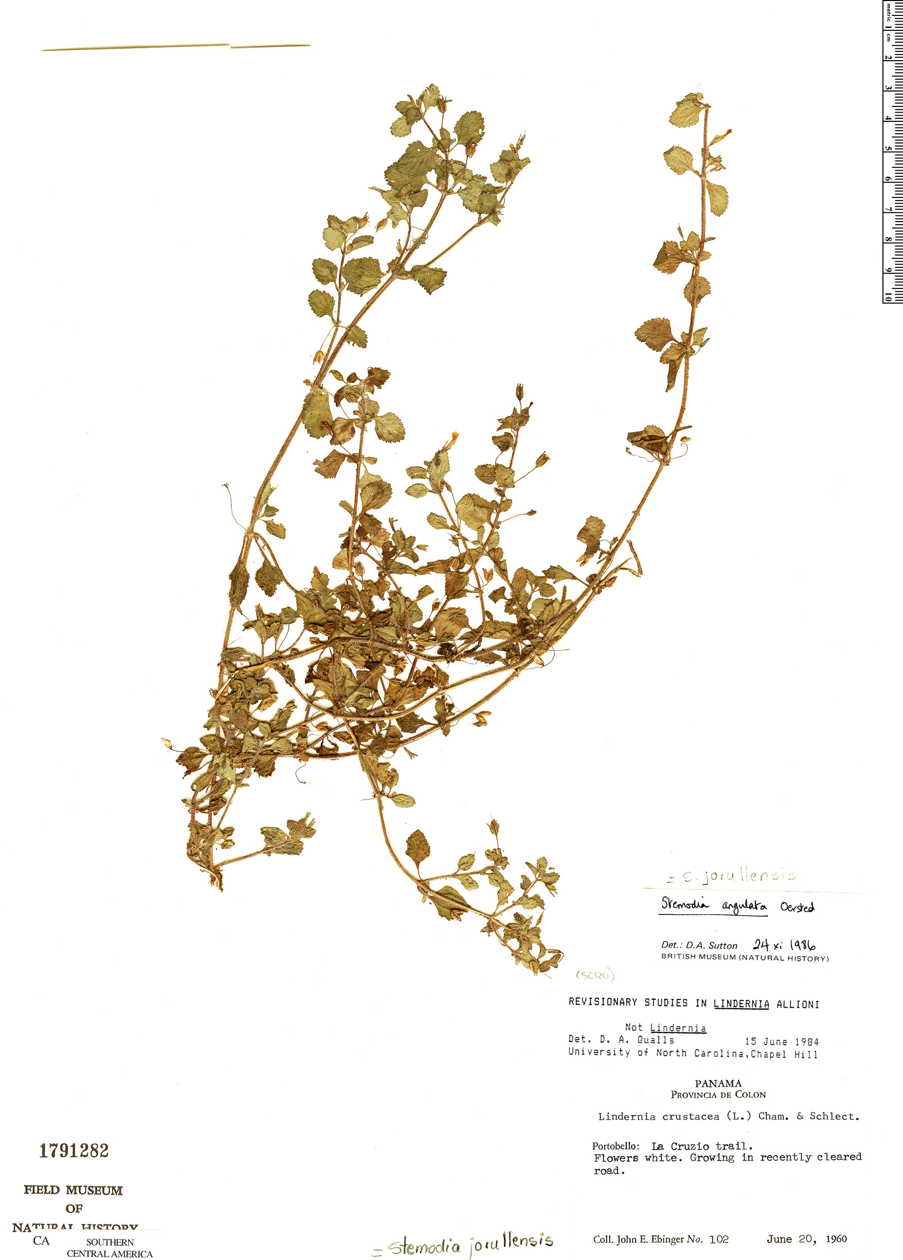 Espécime: Stemodia angulata