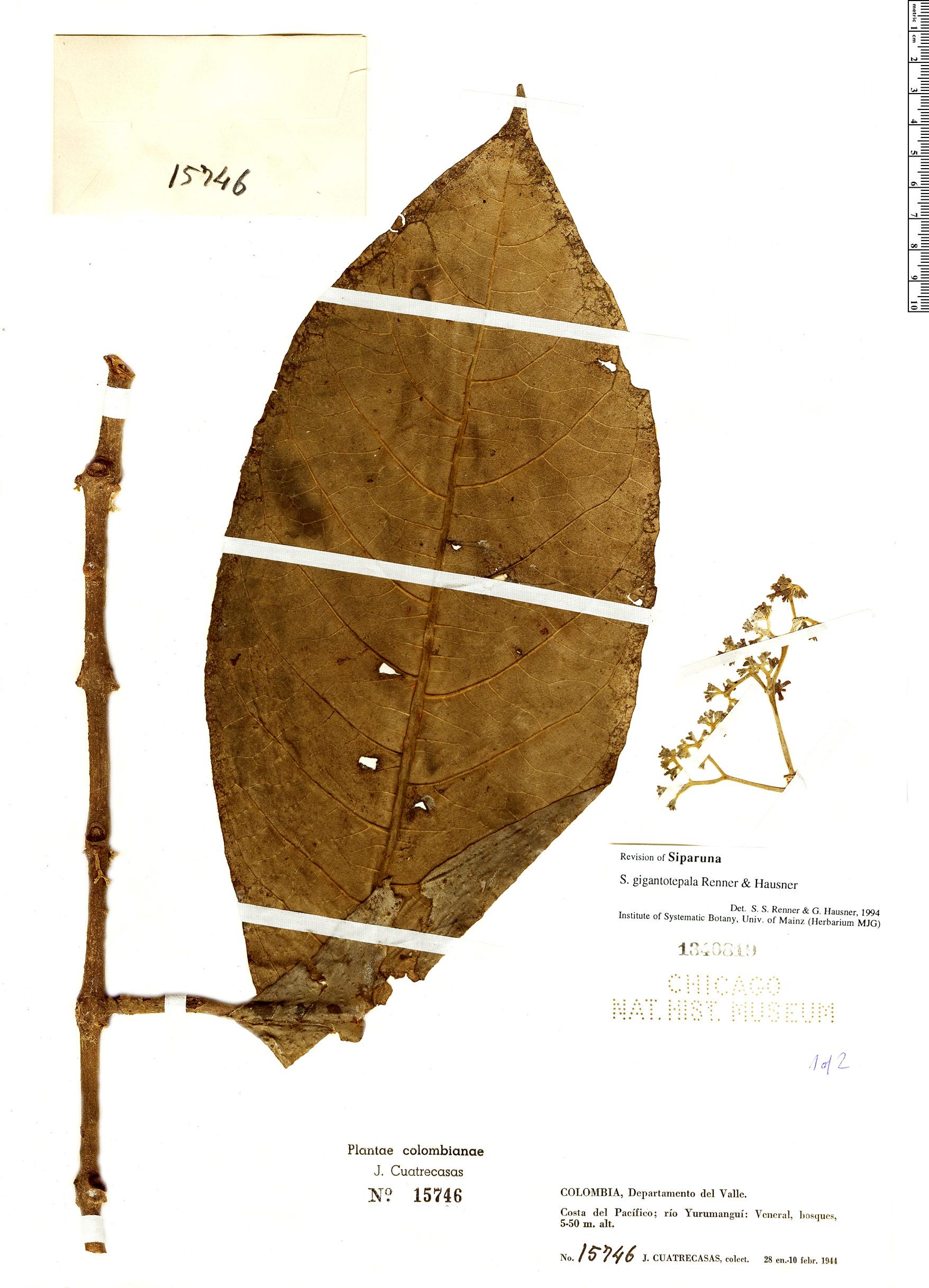 Specimen: Siparuna gigantotepala