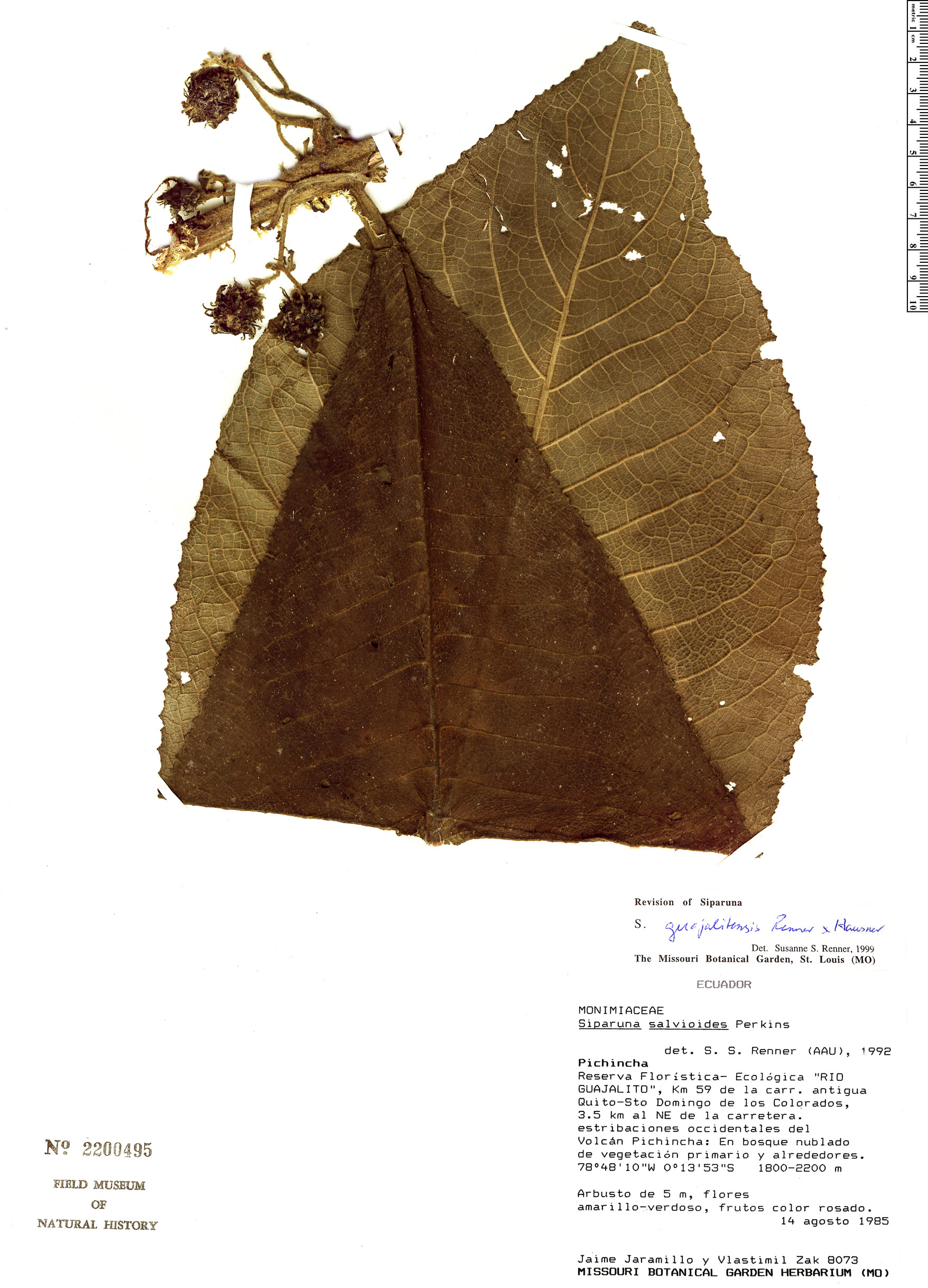 Specimen: Siparuna guajalitensis