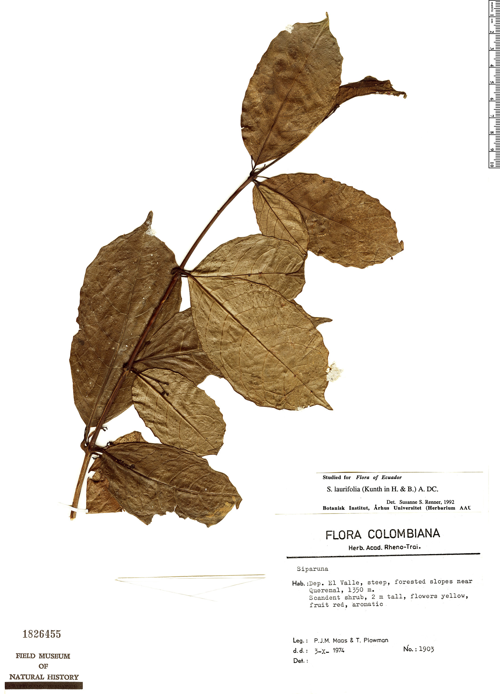Specimen: Siparuna laurifolia