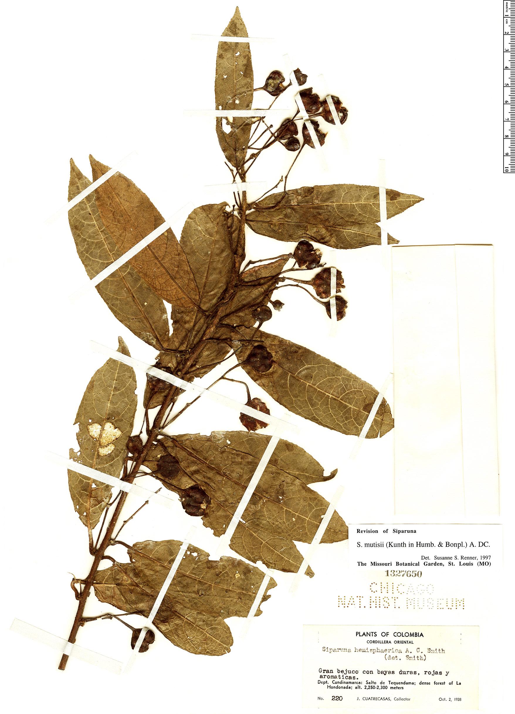 Specimen: Siparuna mutisii