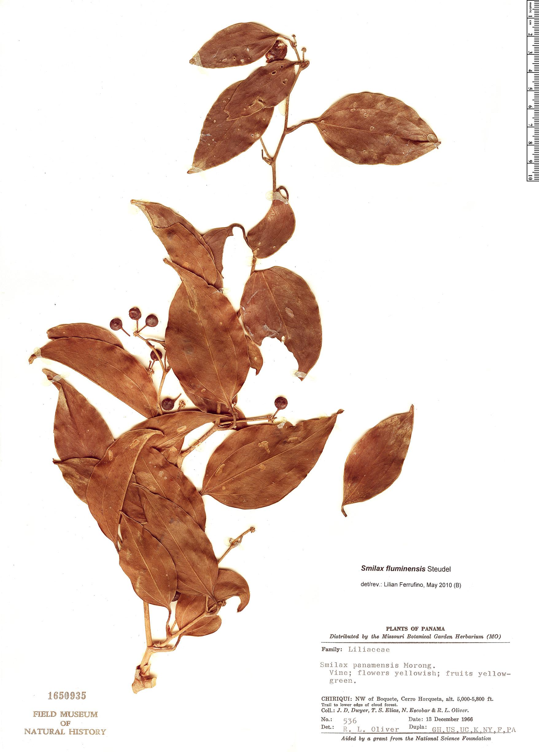 Specimen: Smilax fluminensis