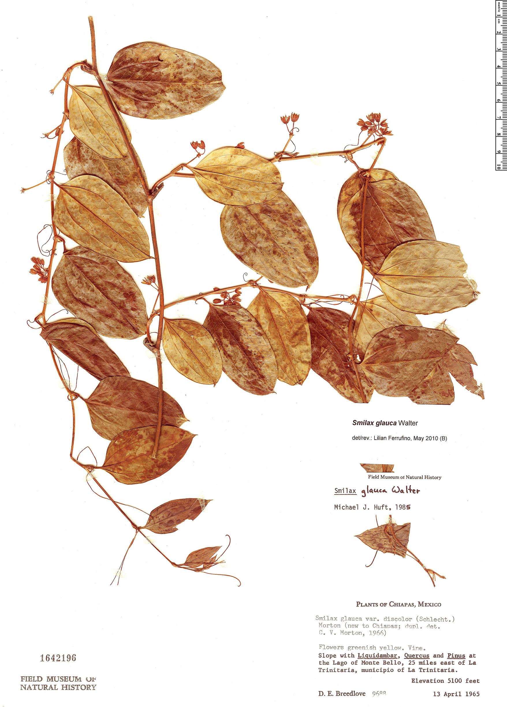 Specimen: Smilax glauca