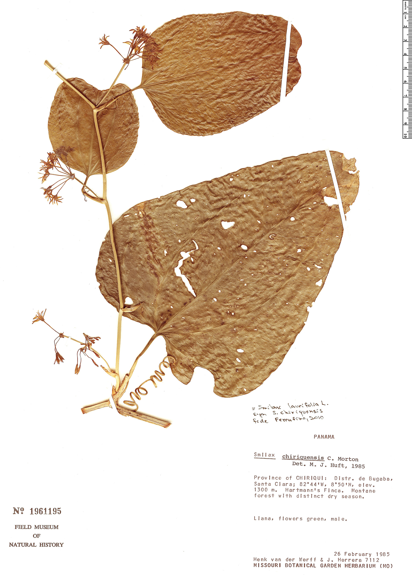 Specimen: Smilax officinalis