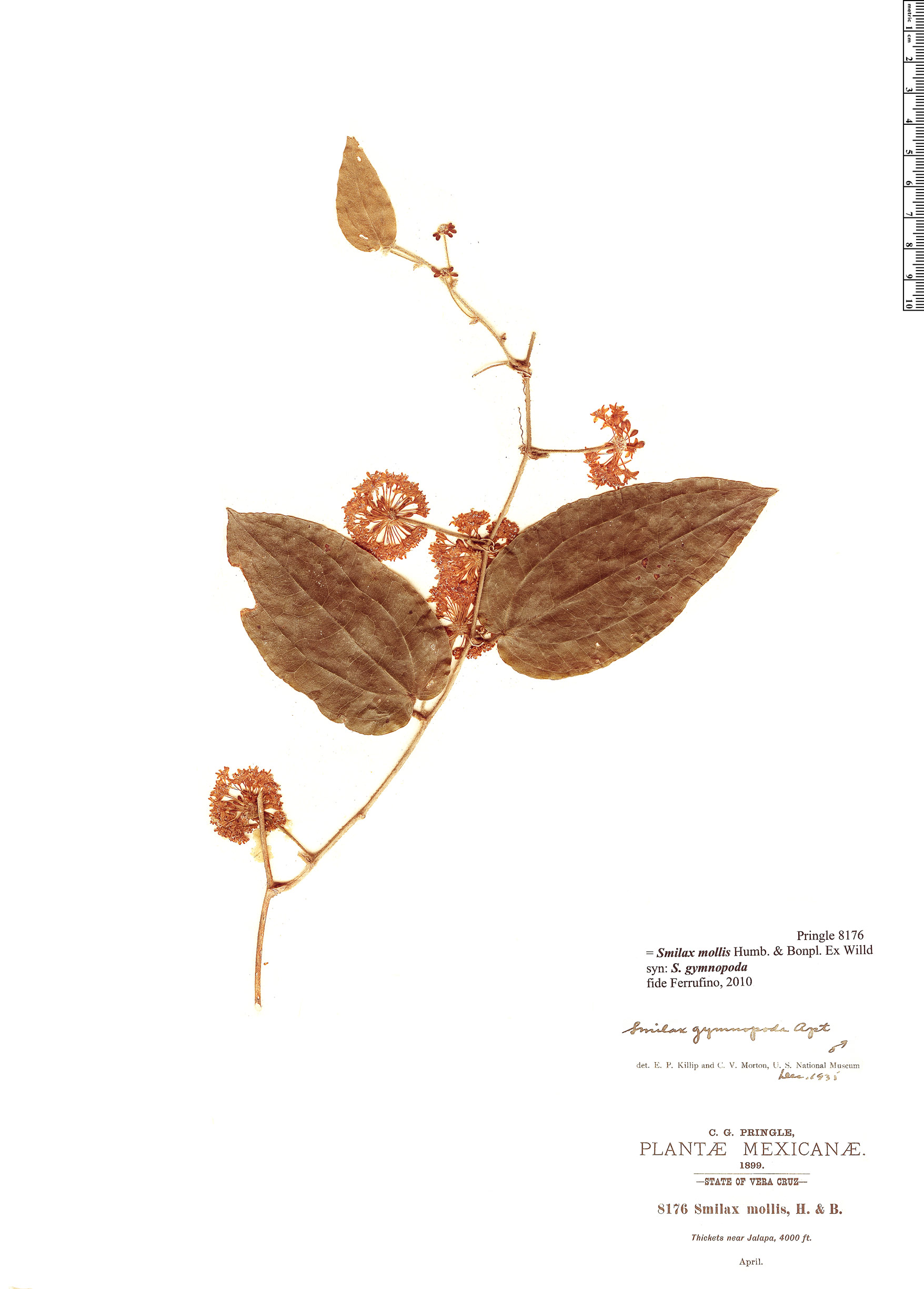 Specimen: Smilax mollis
