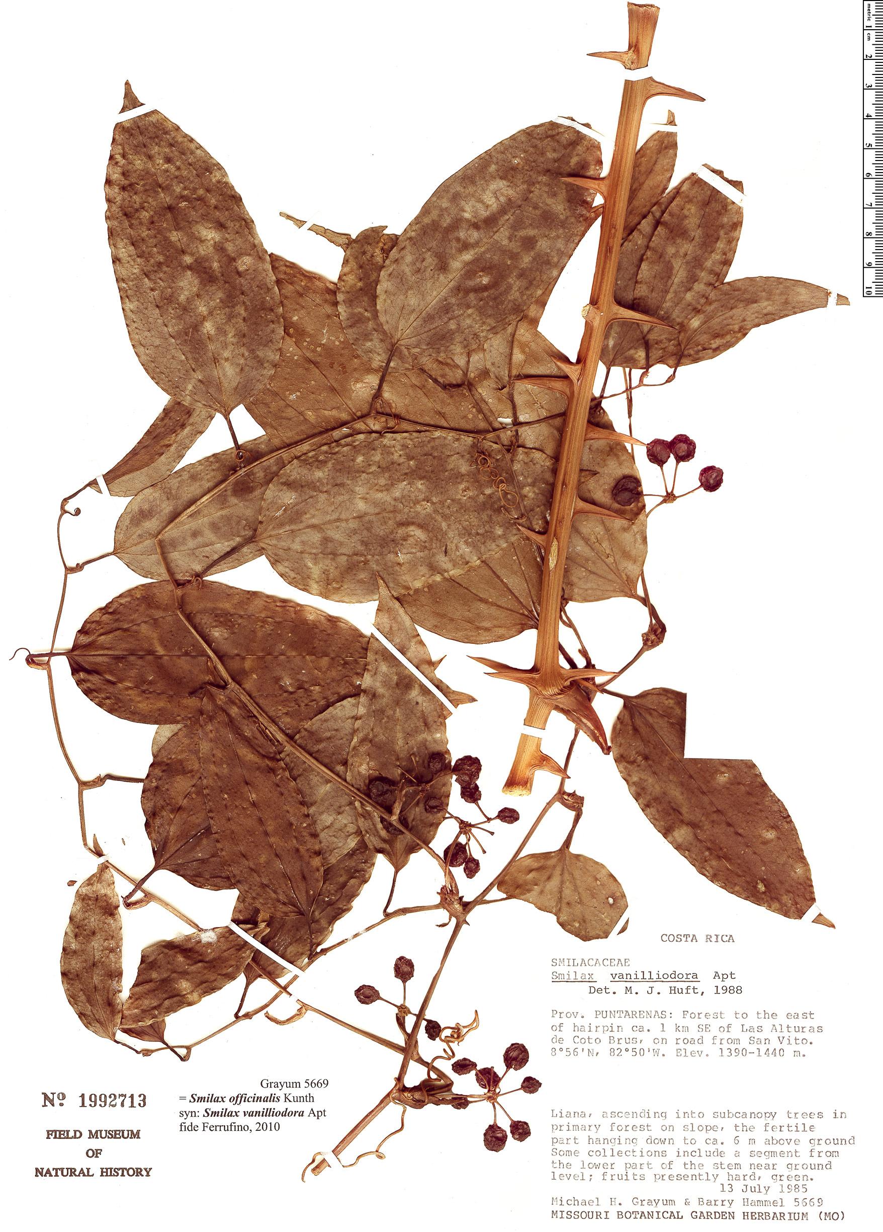 Espécimen: Smilax febrifuga