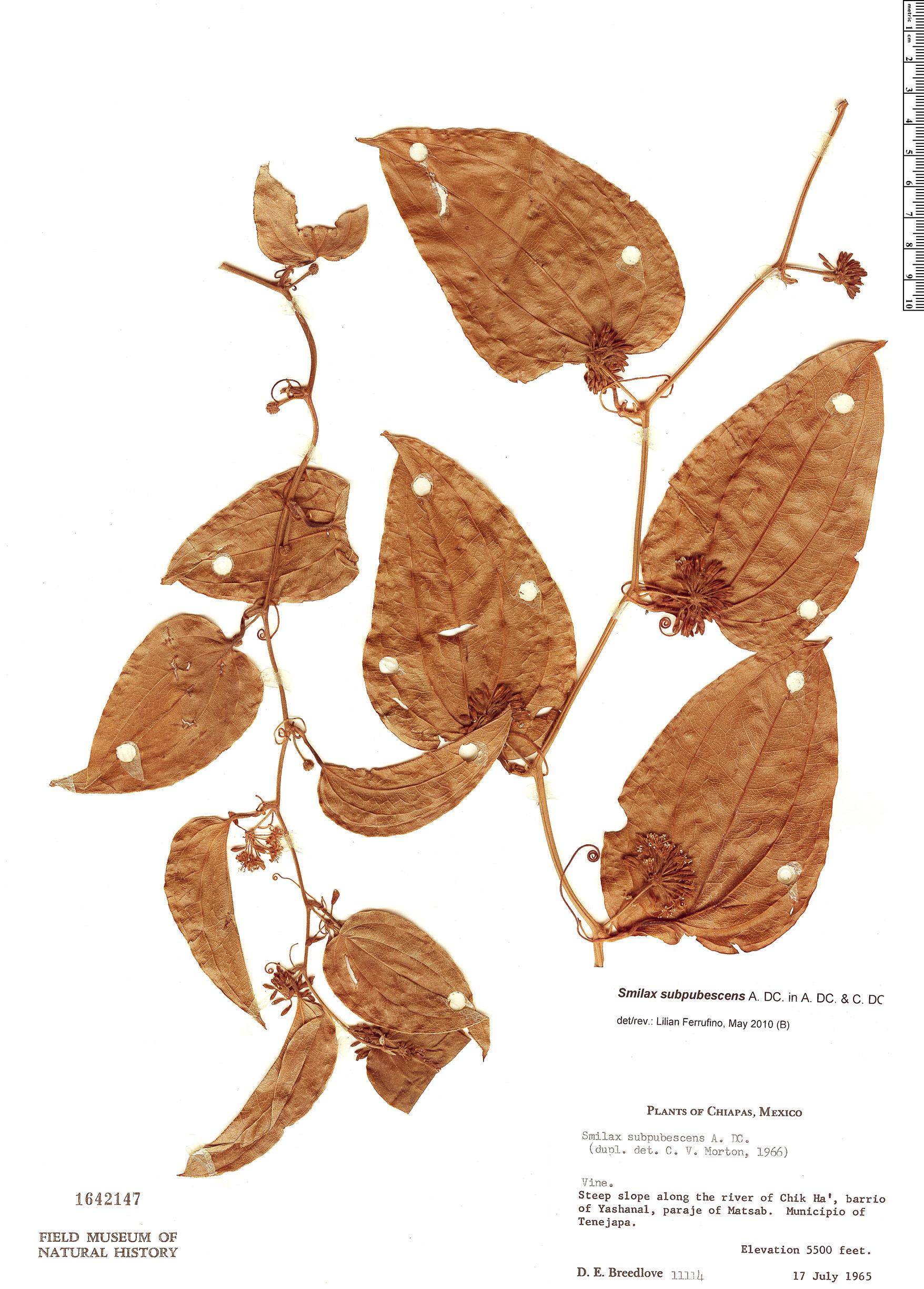 Specimen: Smilax subpubescens