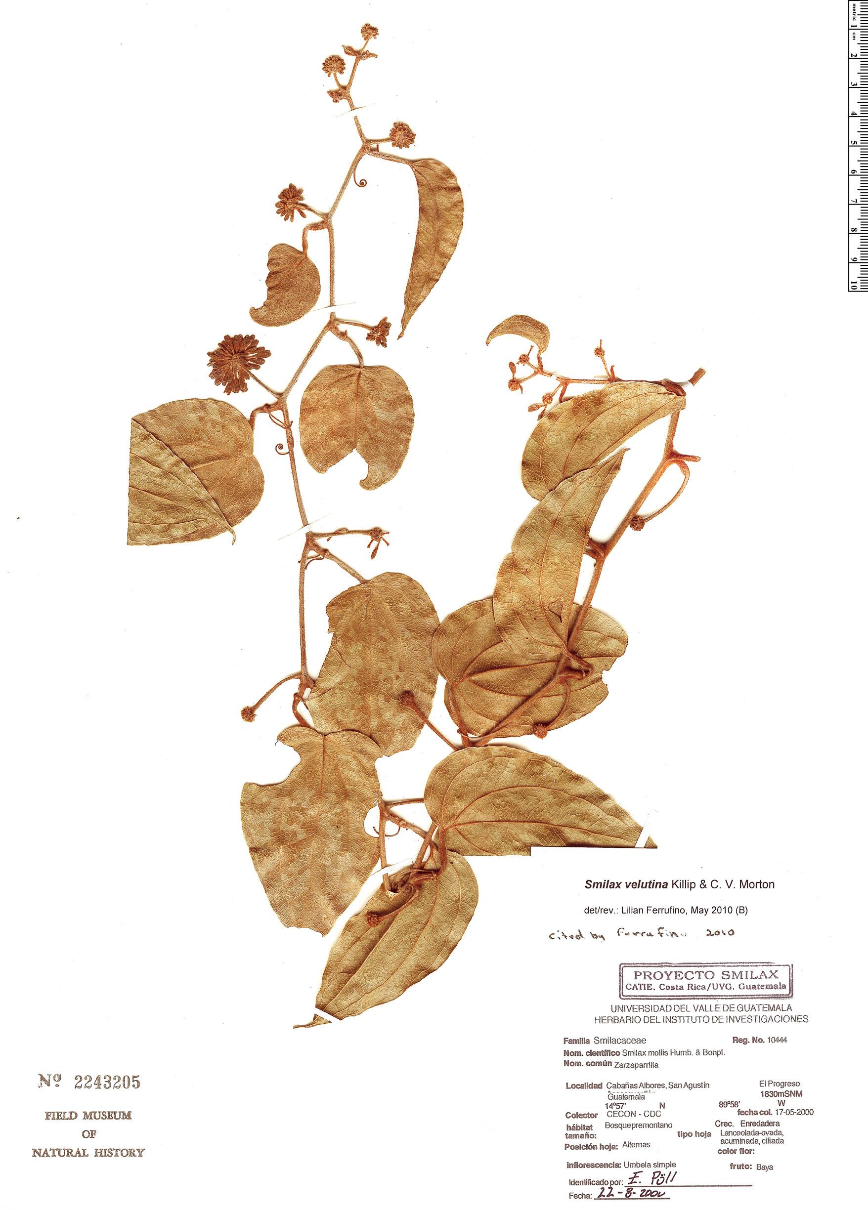 Specimen: Smilax velutina