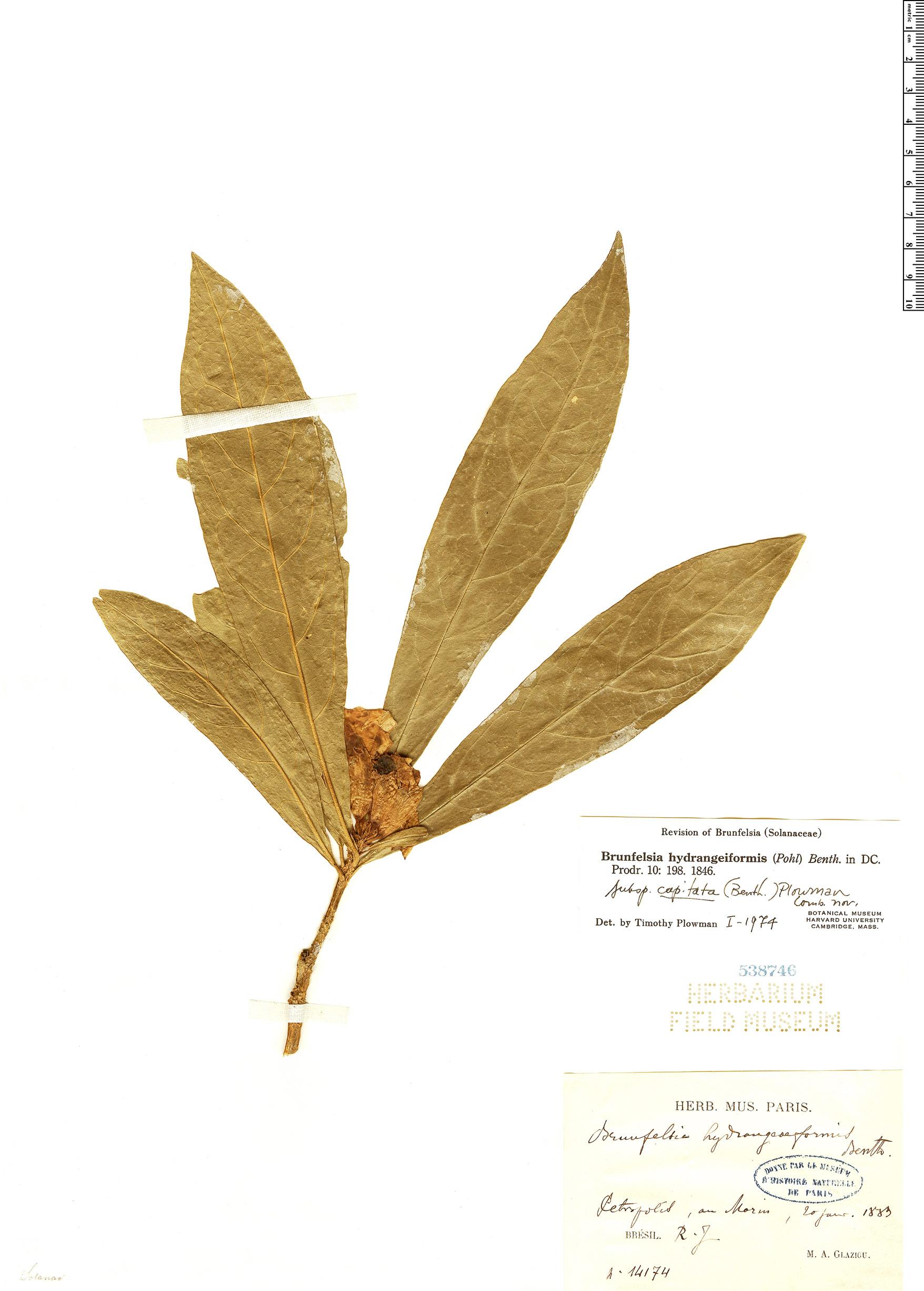 Specimen: Brunfelsia hydrangeiformis