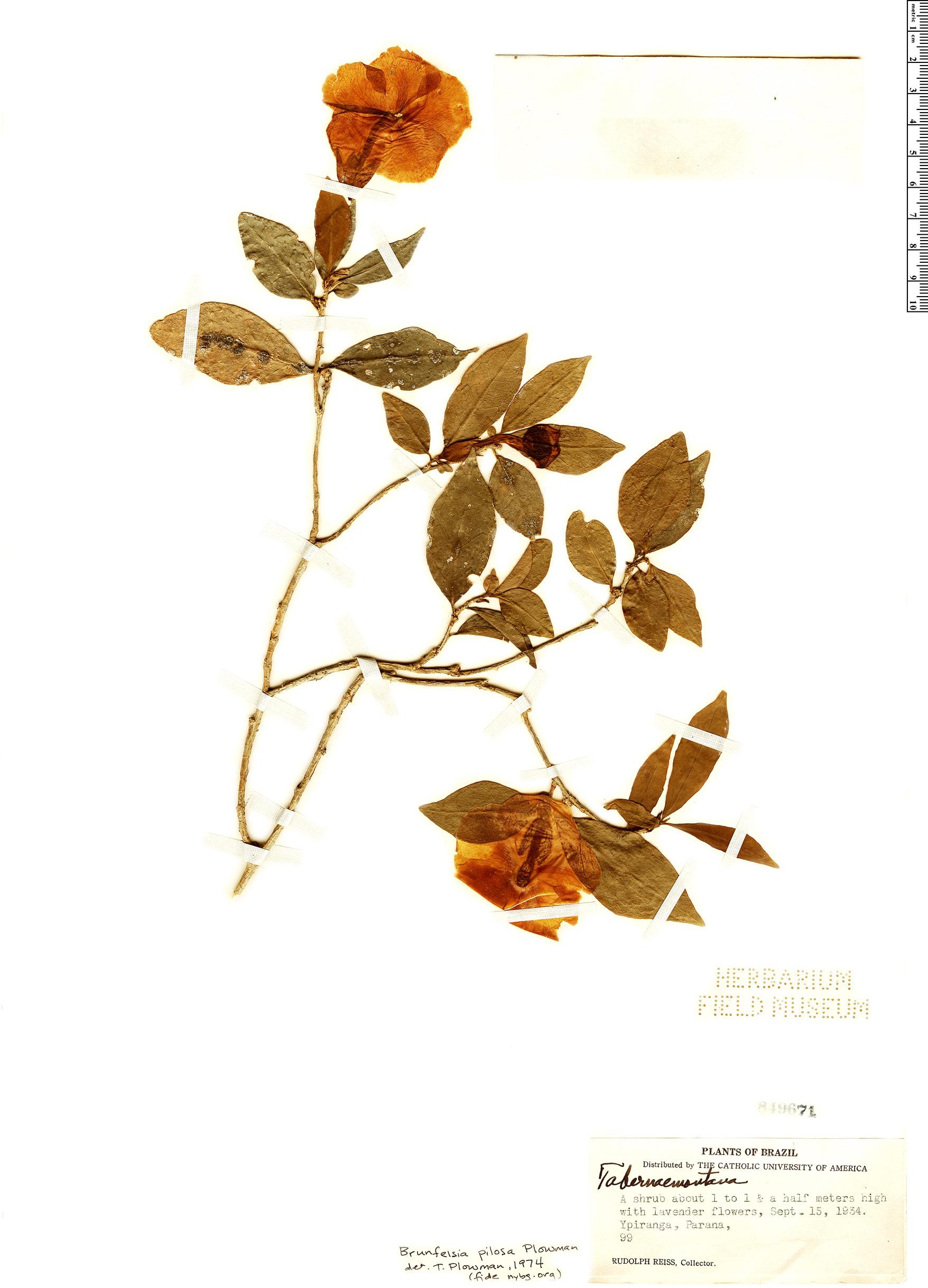 Specimen: Brunfelsia pilosa
