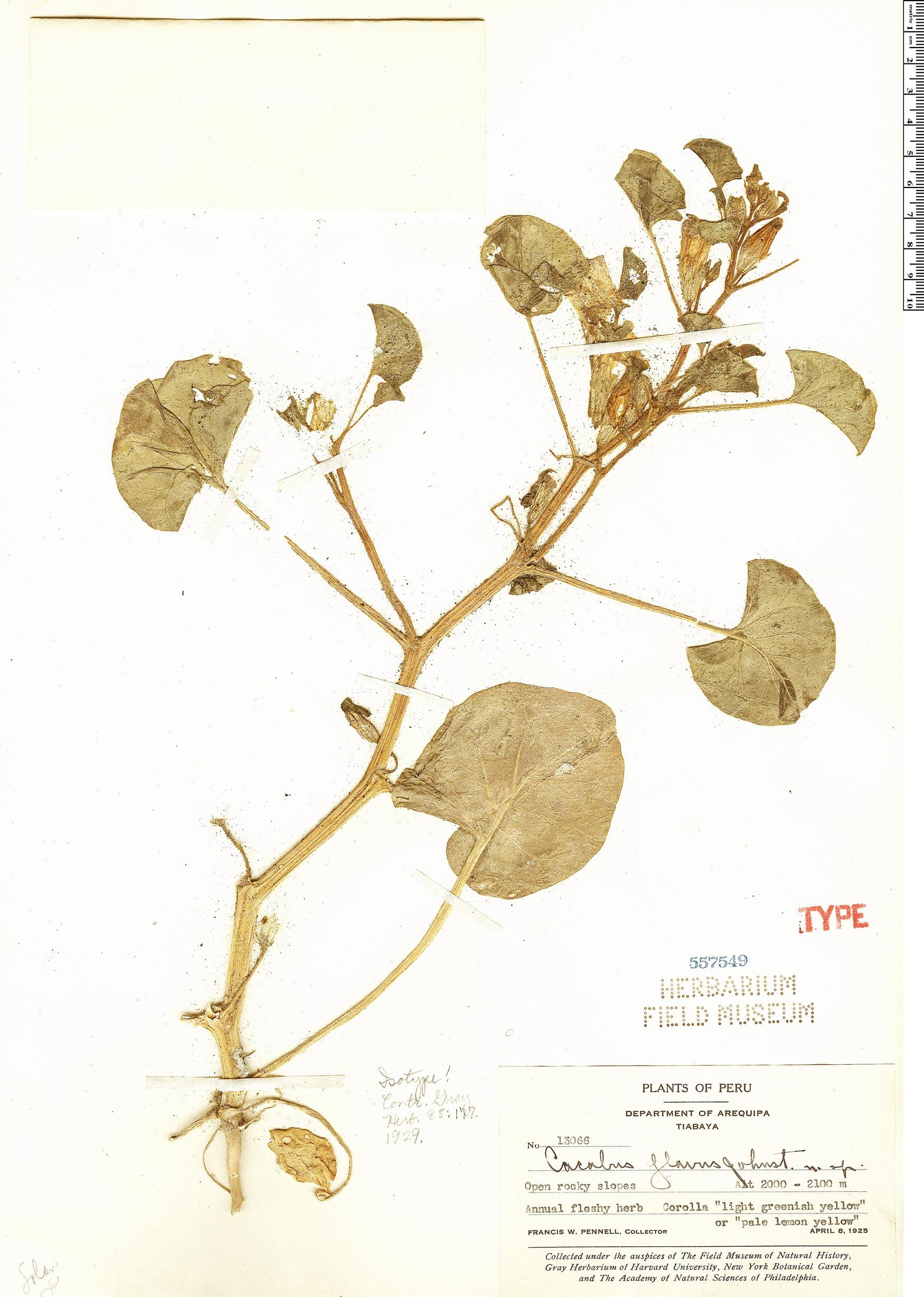 Specimen: Exodeconus flavus