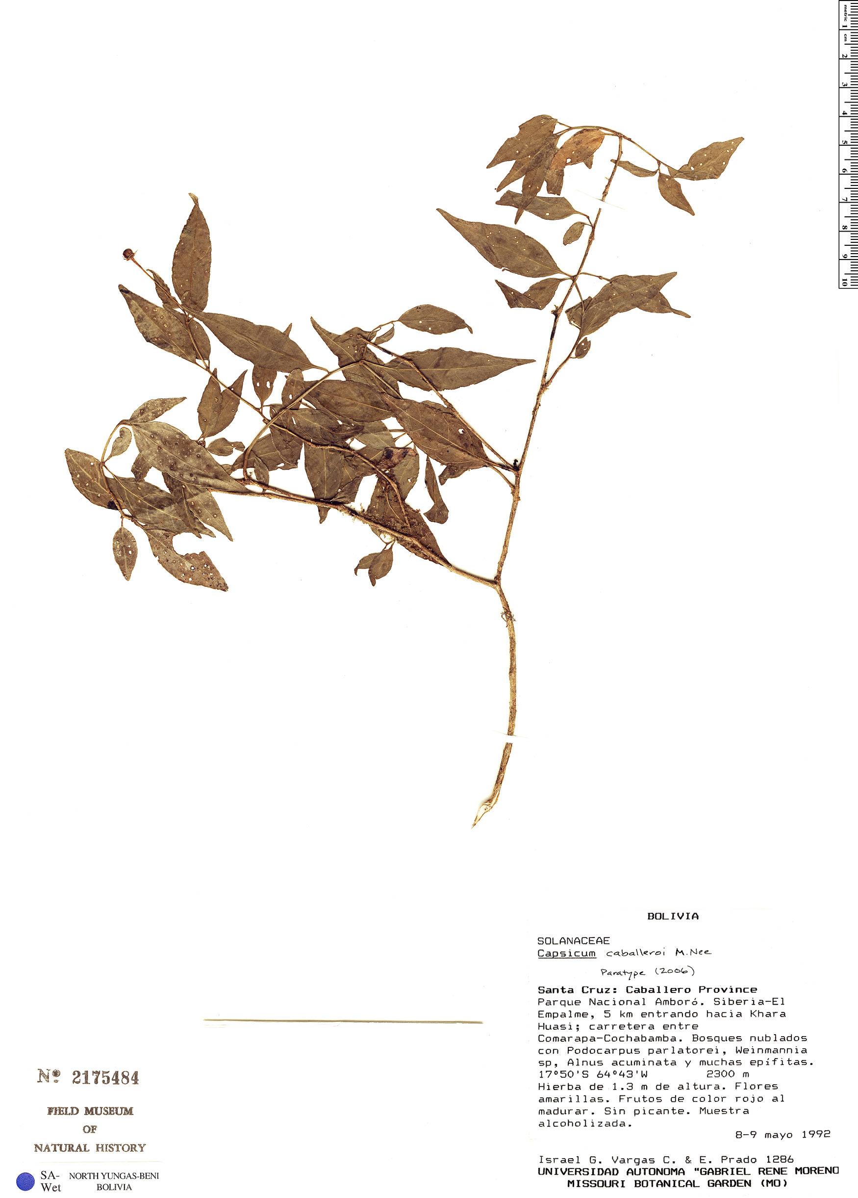 Specimen: Capsicum caballeroi