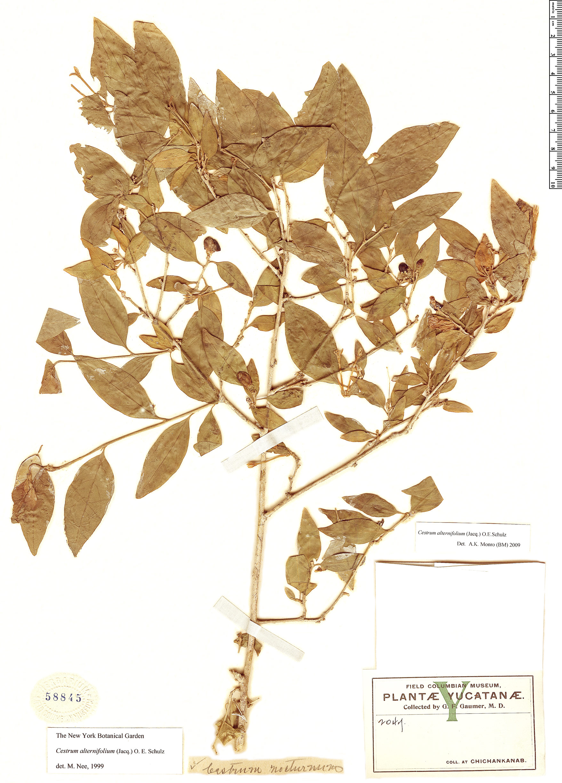 Specimen: Cestrum alternifolium