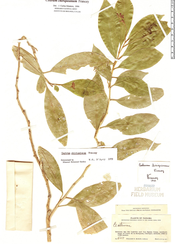 Specimen: Cestrum chiriquianum