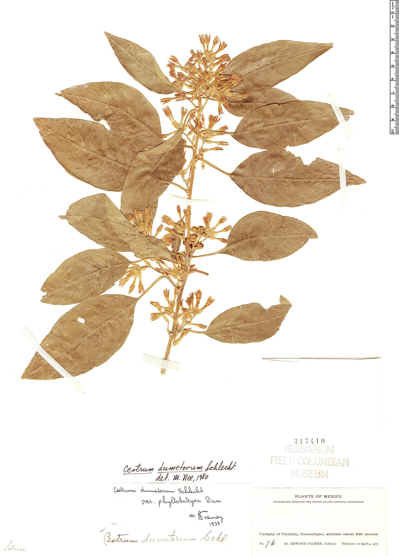 Specimen: Cestrum dumetorum