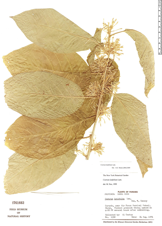 Specimen: Cestrum latifolium
