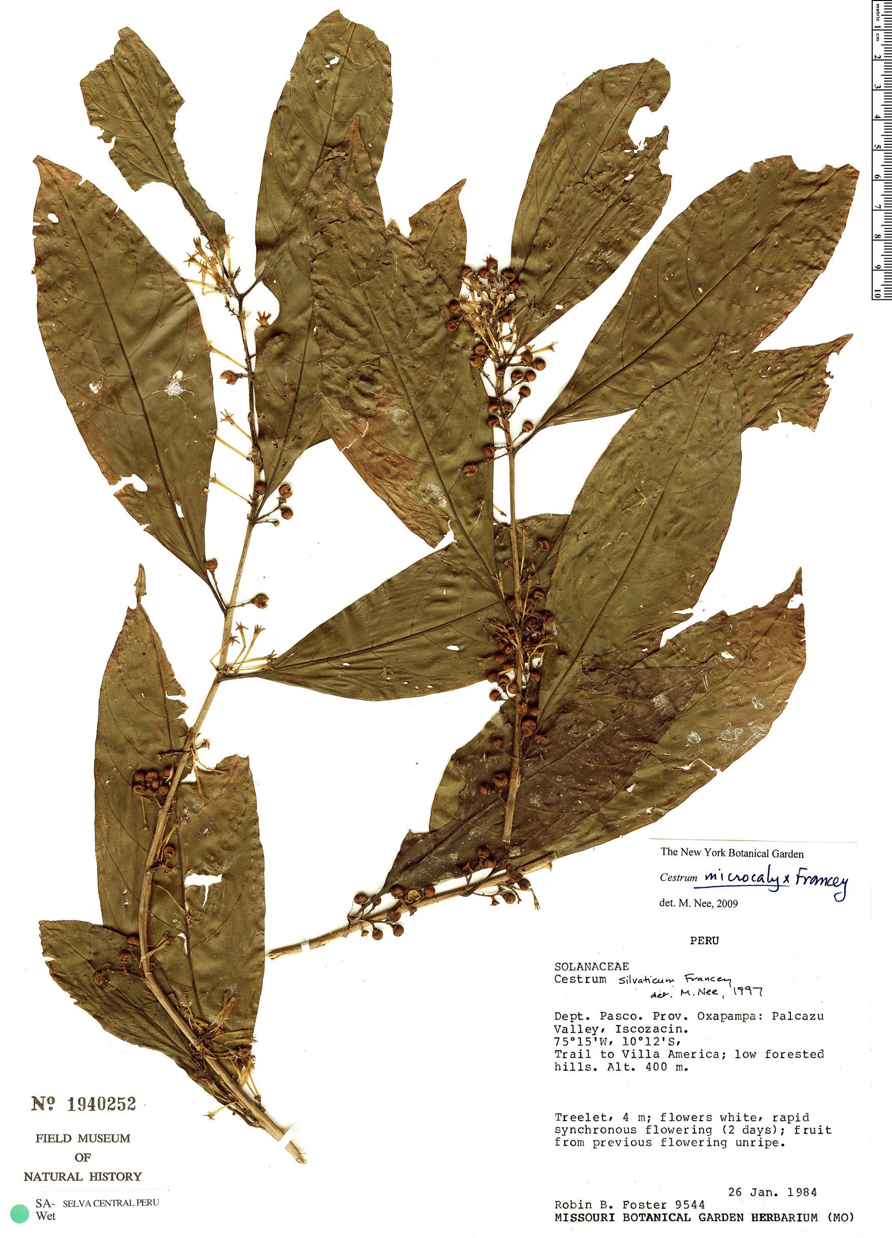 Espécime: Cestrum microcalyx