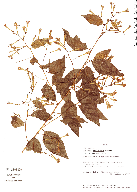 Specimen: Cestrum ovalifolium