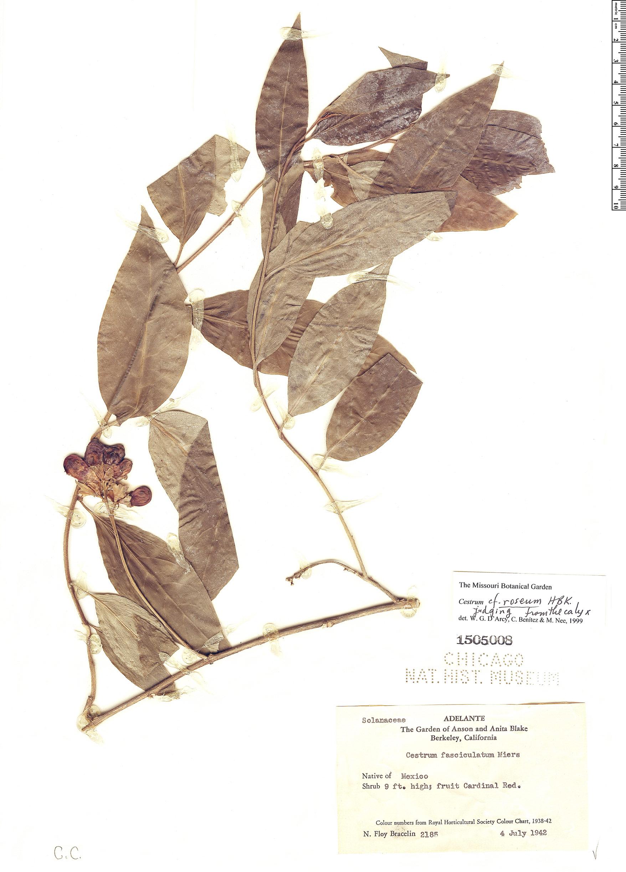 Specimen: Cestrum roseum