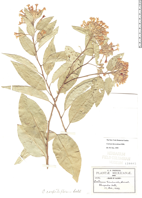 Espécimen: Cestrum thyrsoideum