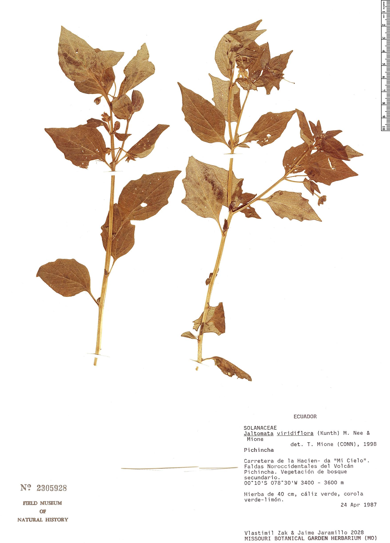Specimen: Jaltomata viridiflora