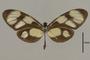 125693 Callithomia lenea epidero d IN