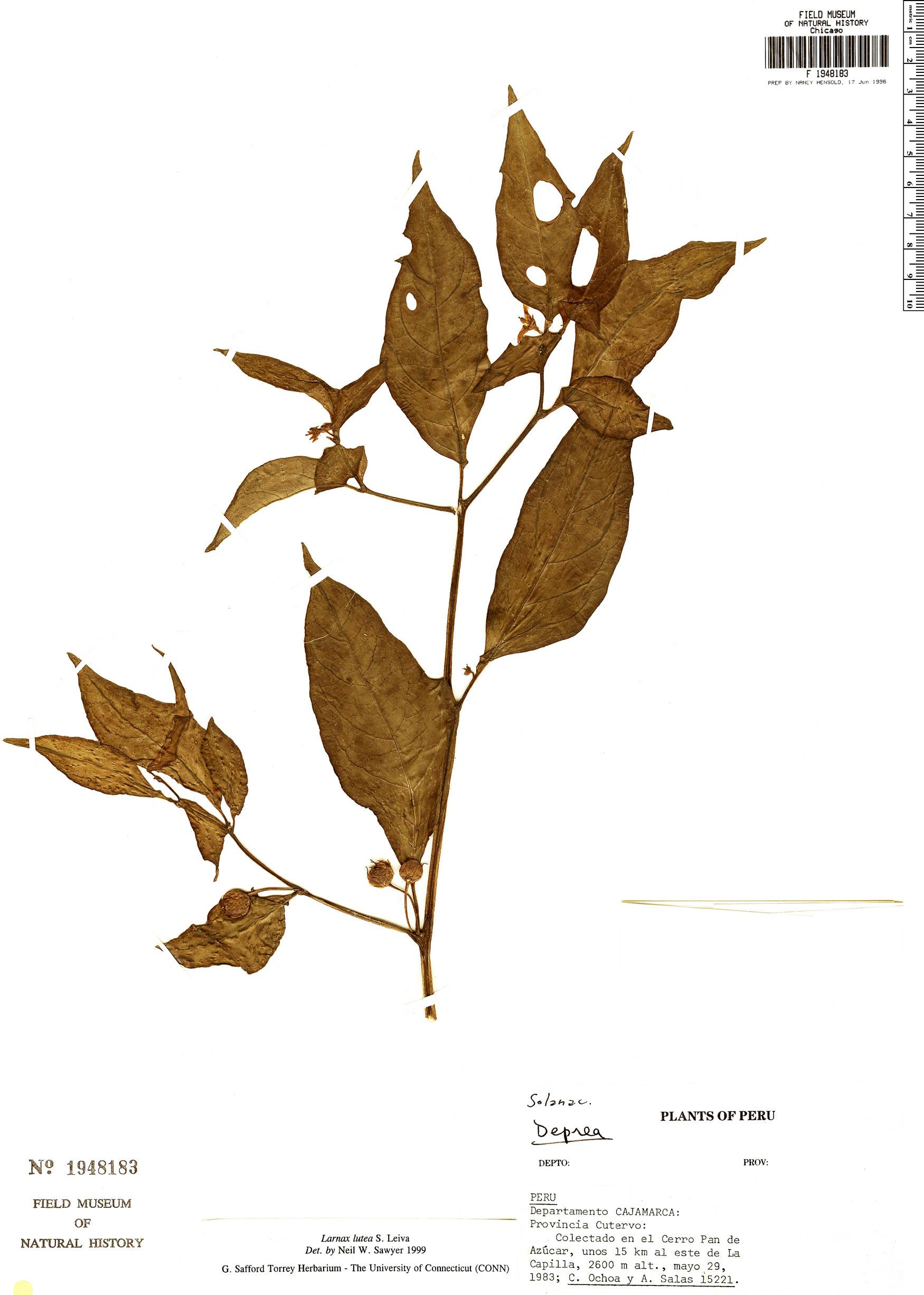 Specimen: Larnax lutea