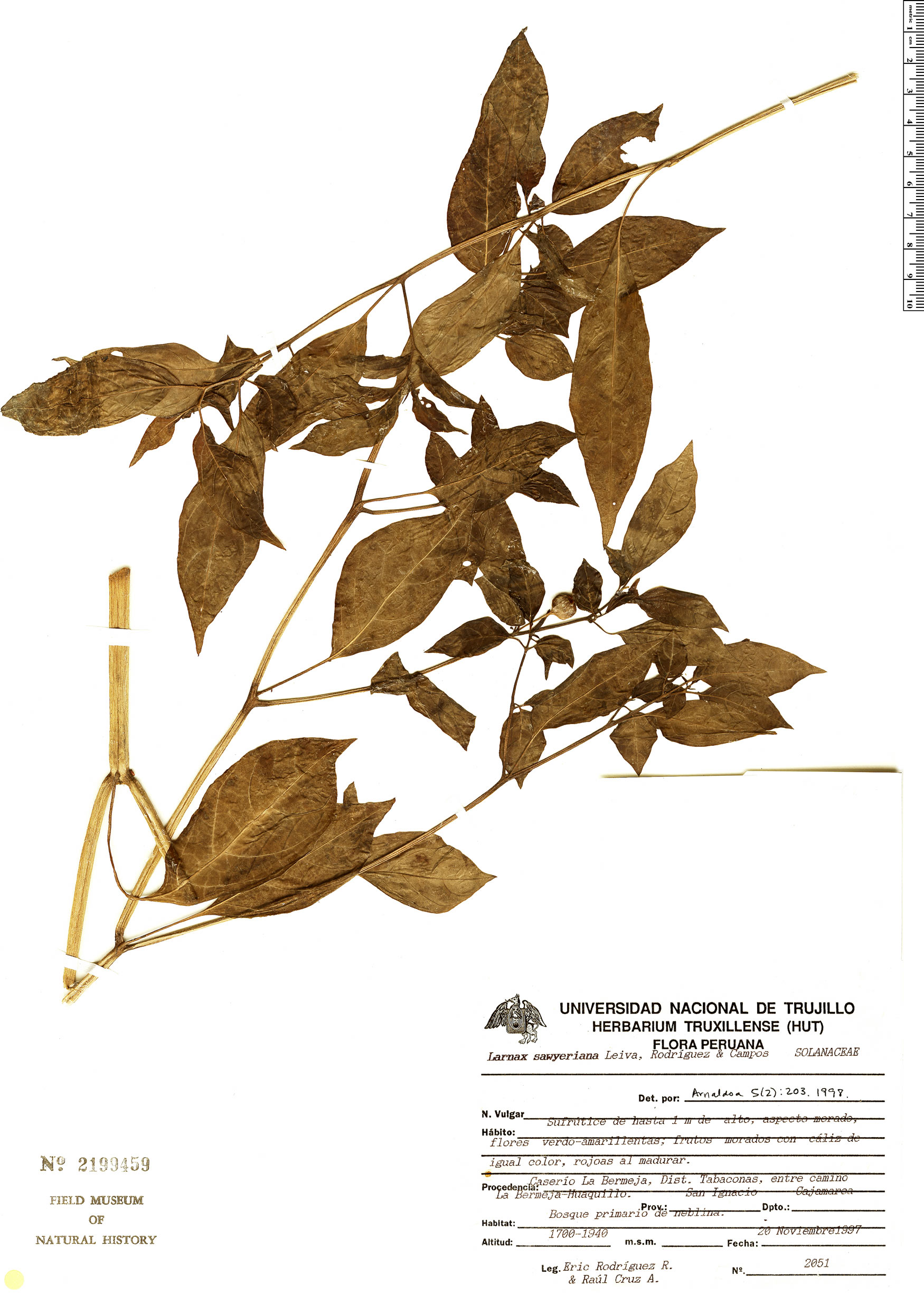 Specimen: Larnax sawyeriana
