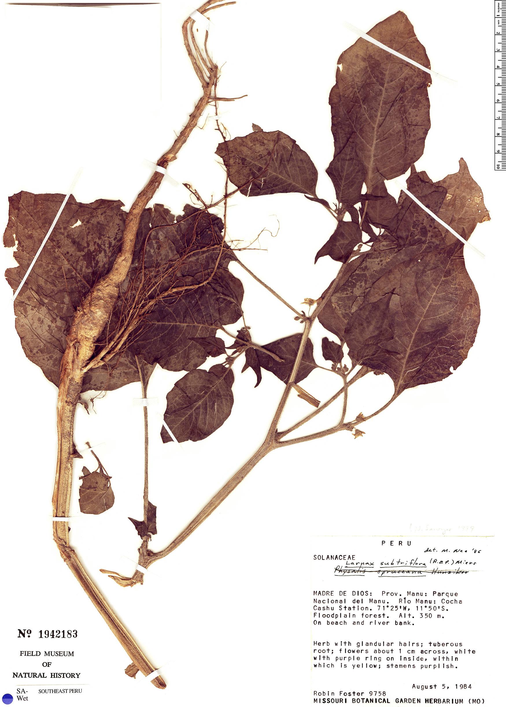 Specimen: Larnax subtriflora