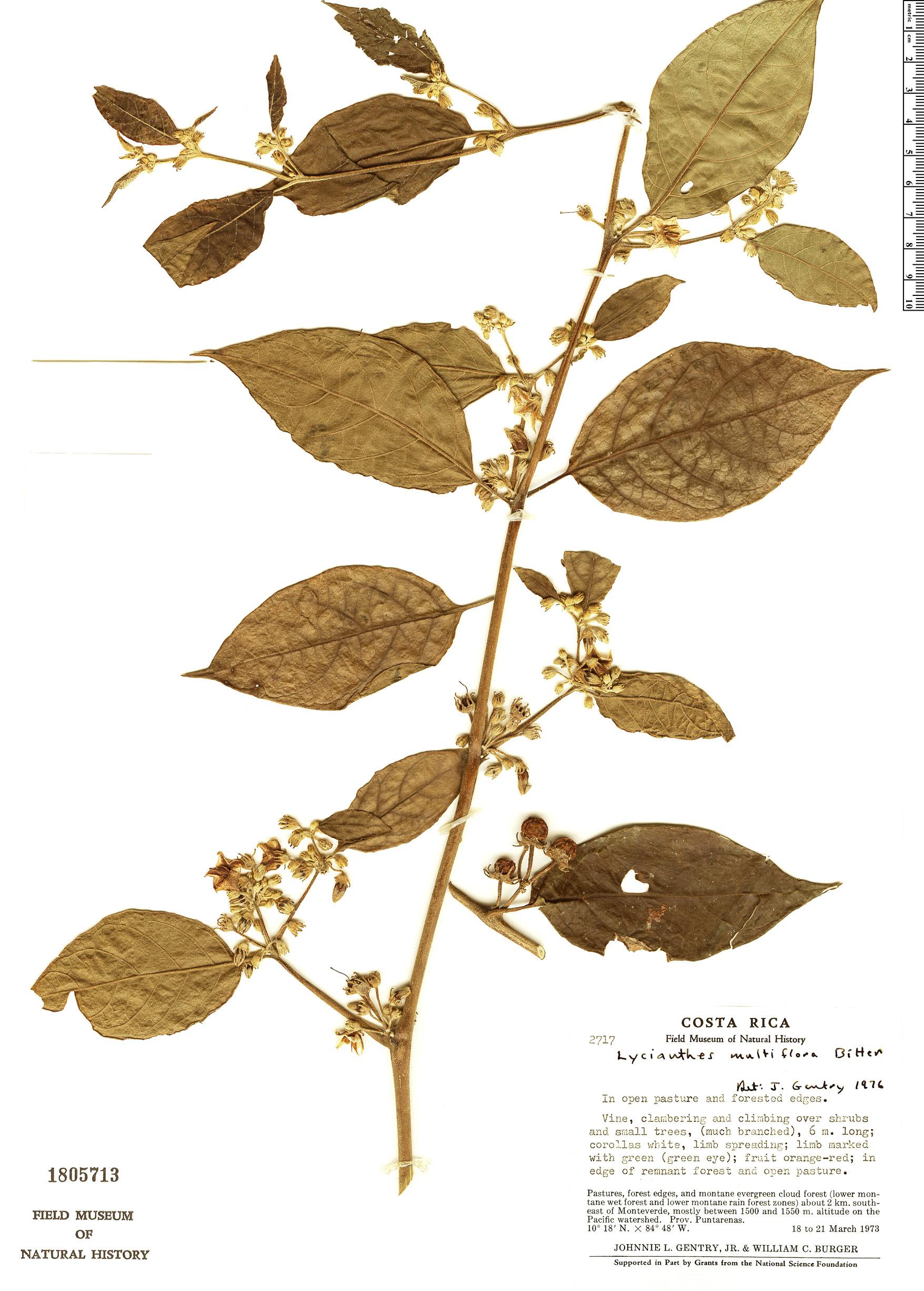 Specimen: Lycianthes multiflora