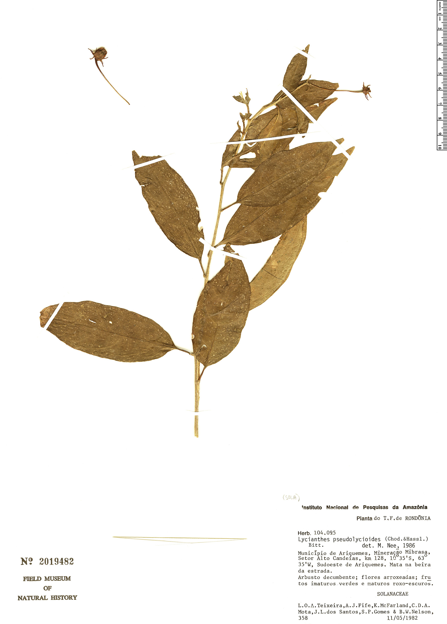 Specimen: Lycianthes pseudolycioides