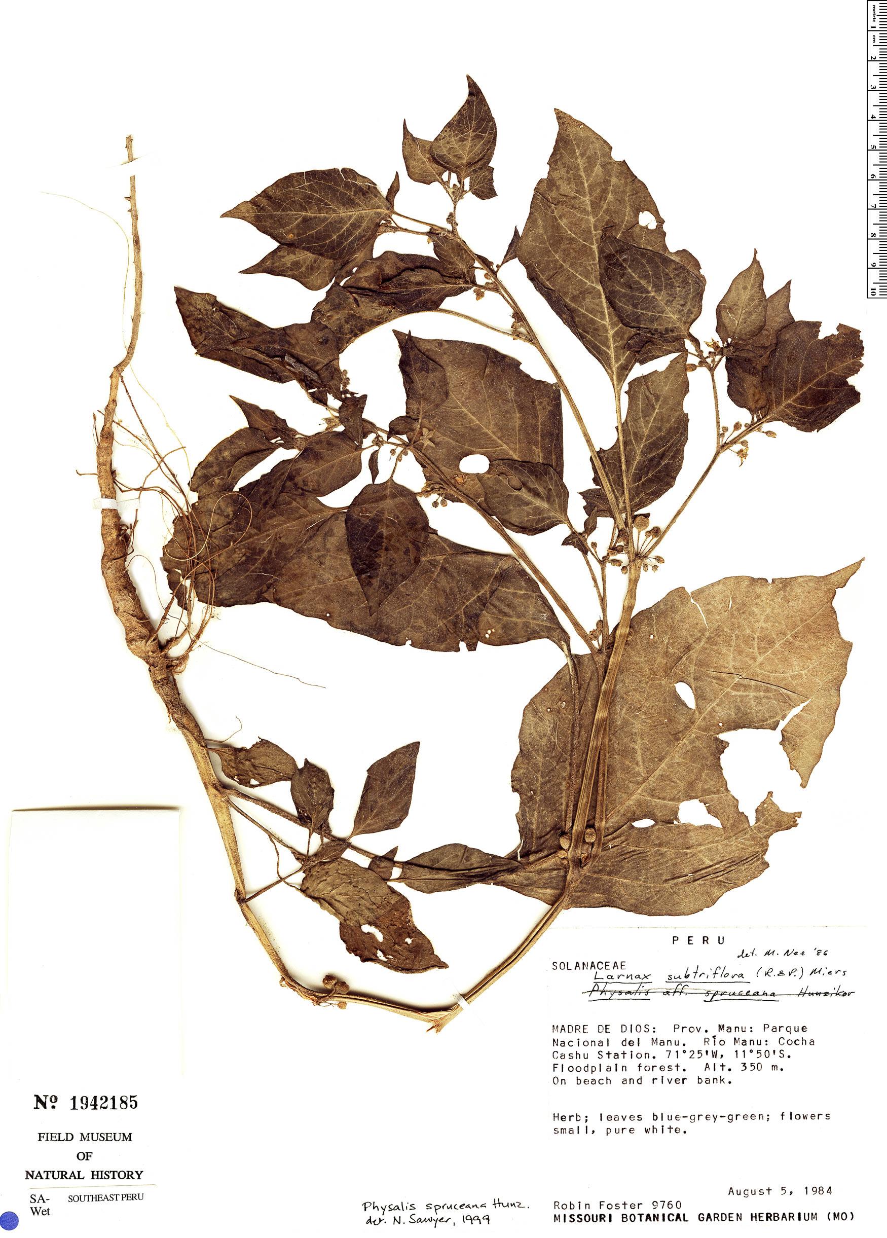 Specimen: Physalis spruceana