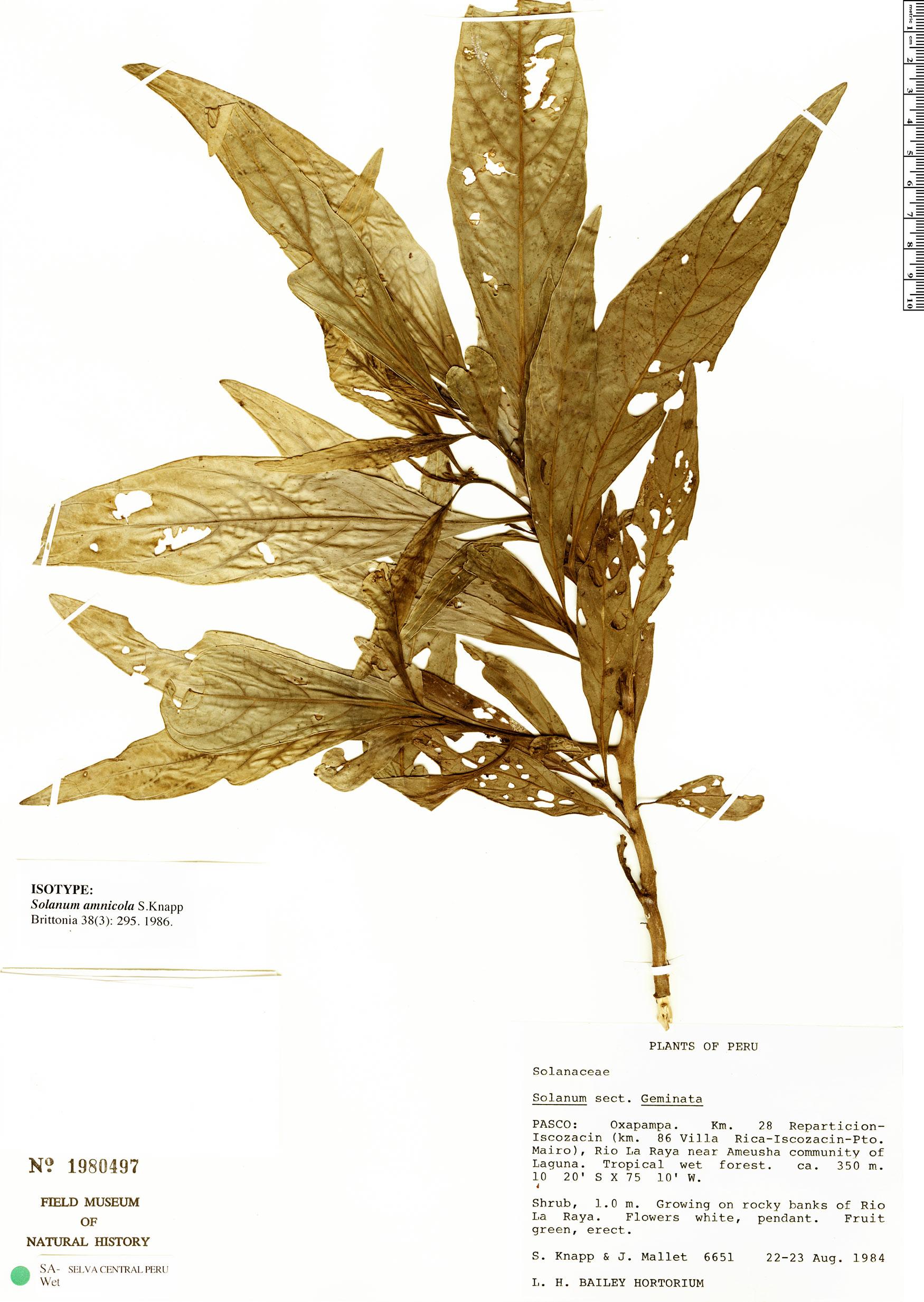 Specimen: Solanum amnicola