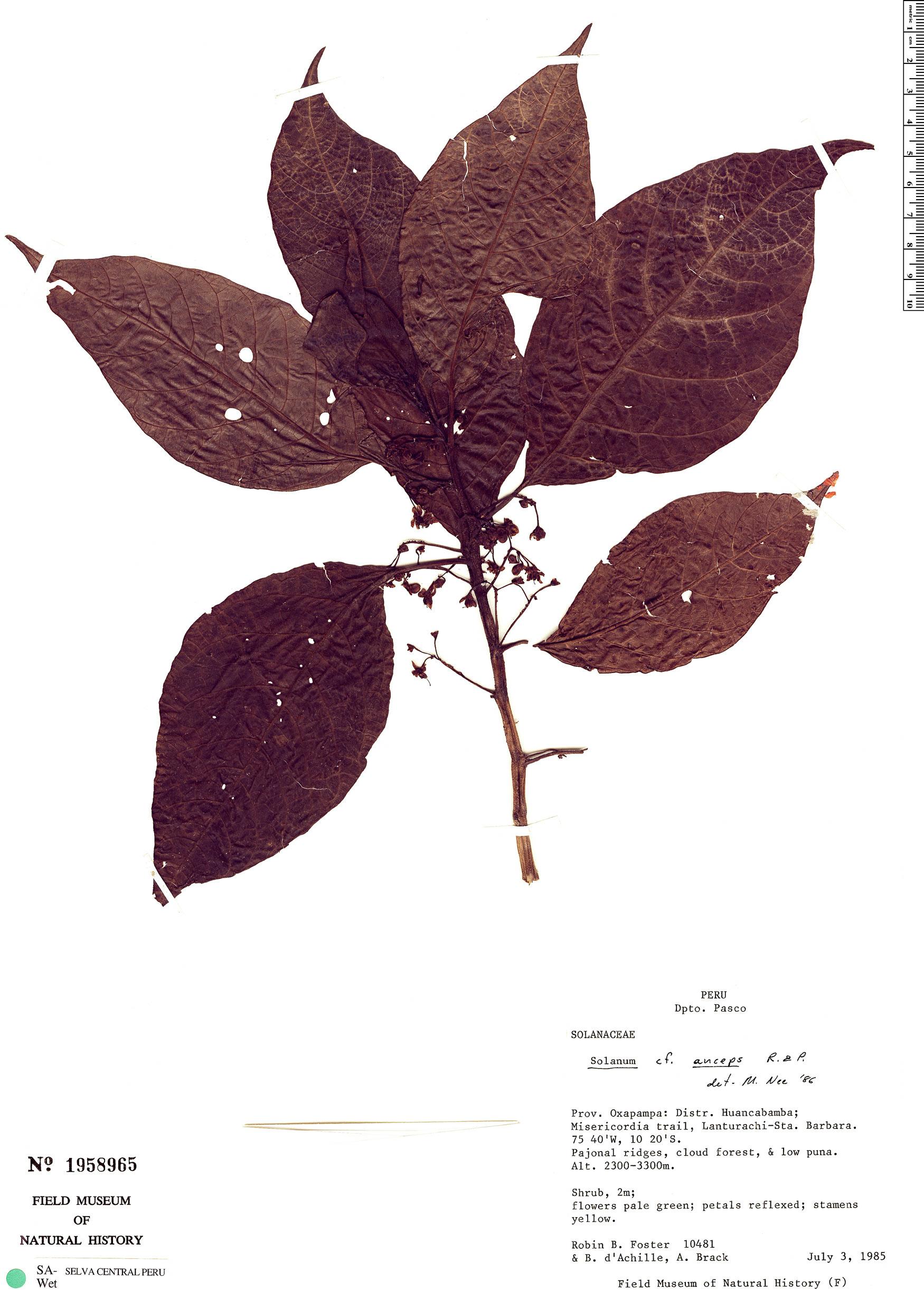 Specimen: Solanum anceps