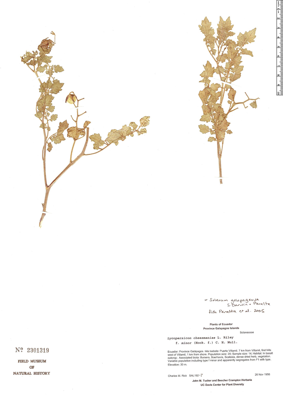 Solanum galapagense image