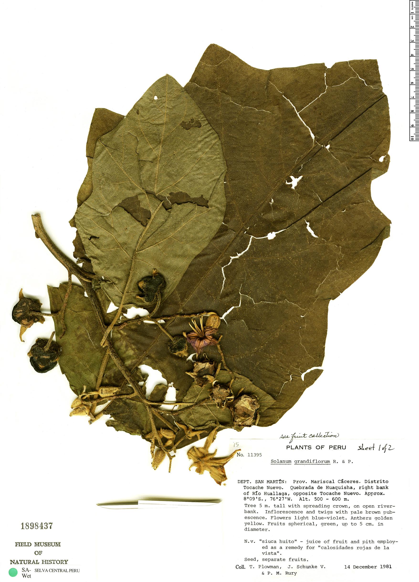 Espécimen: Solanum grandiflorum